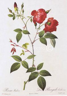 free botanical prints | China Rose Redoute Vintage Botanical Art STRETCHED CANVAS PRINT