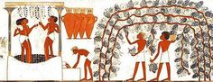 Illustration of Egyptians harvesting grapes in a vineyard,treading the grapes in a press,& filling amphorae with new wine in Thebes.