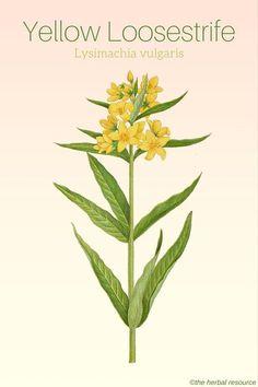 Yellow Loosestrife Lysimachia vulgaris
