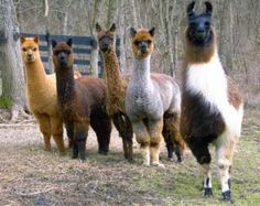 A llama (right) stands guard over a herd of curious alpacas. Llamas are larger and defensively aggressive, making good guardians for the herd. Coyotes can be intimidated by a 400 pound llama. and alpacas Farm Animals, Animals And Pets, Funny Animals, Cute Animals, Nature Animals, Alpacas, Dalai Lama, Llama Pictures, Baby Llama