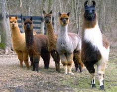 Love llamas - love spinning their fleeces