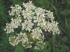 This is the Common Hogweed, Heracleum sphondylium. http://www.glaucus.org.uk/Umbellifer122.jpg