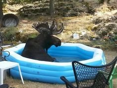 Moose Keep Sneaking Into This 2-Year-Old's Inflatable Pool To Cool Off