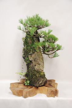 黒松の石付盆栽