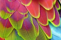 Macaw Feathers | macaw feathers red and blue wing feathers of a green winged macaw ara ...