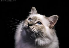 Blueeyed kitten by Natassja Berg Hviid on 500px
