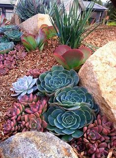 Echeveria imbricata (blue), Kalanchoe thyrsiflora (Flapjacks) graptoveria vera higgins (red)
