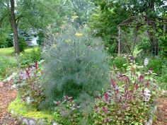 Second Silver - Fennel, sweet herb self seeding annual, Foeniculum vulgare dulce, seeds Spring Plants, Spring Garden, Foeniculum Vulgare, Tea Plant, Fennel, Herb, Seeds, Flowers, Silver