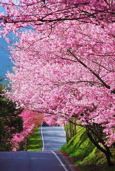 Serenity. cherri, country roads, color, road trips, blossom trees, flowering trees, spring blooms, the road, cherry blossoms