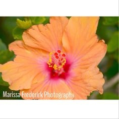 hibiscus flower. Oahu Hawaii.