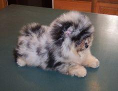An Australian shepherd Pomeranian mix. It's a mini fluff ball Harley! Cute Puppies, Cute Dogs, Dogs And Puppies, Doggies, Corgi Puppies, Cute Baby Animals, Animals And Pets, Funny Animals, Cute Dog Pictures