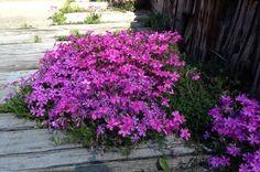 芝桜の育て方・増やし方。植える時期と正しい植え方とは?