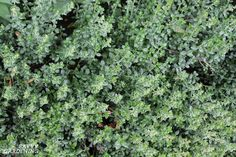 Evergreen Groundcover Plants: 20 Choices For Year-round Interest - Architecture Acreage Landscaping, Landscaping On A Hill, Outdoor Landscaping, Landscaping Ideas, Backyard Ideas, Garden Ideas, Evergreen Groundcover, Evergreen Hedge, Deer Proof Plants