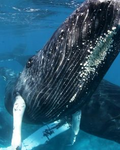 Learn how to swim with humpback whales on the Silver Bank with Conscious Breath Adventures, the ultimate marine mammal encounter. Beautiful Sea Creatures, Animals Beautiful, Nature Animals, Animals And Pets, Strange Animals, Cute Funny Animals, Cute Baby Animals, Underwater Photography, Animal Photography