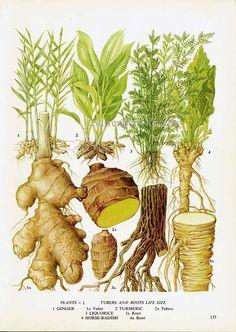 Ginger Turmeric Licorice Horseradish Chart by SurrenderDorothy