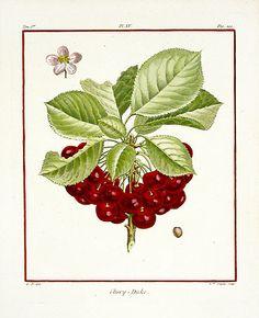 Duhamel de Monceau Fruit Prints 1768