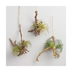 Cost Plus World Market Hanging Twigs with Air Plants Set of 3 ($24) ❤ liked on Polyvore featuring home, home decor, floral decor and cost plus world market