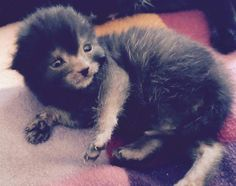 People Are Going Nuts Over This New Cat Breed Werewolf Kitten. Lykoi Cat, Werewolf Cat, Super Cute Animals, Cat Breeds, Beautiful Creatures, Cats Of Instagram, Cats And Kittens, Cute Cats, Kitty