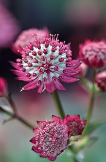 Astrantia major, Landlust - Beautiful star umbels - Rania Loez Home Perennial Ground Cover, Ground Cover Plants, Exotic Flowers, Amazing Flowers, Astrantia Major, Plants Under Trees, Virtual Flowers, Garden Drawing, Cottage Garden Plants