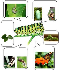 Animal Activities, Teaching Activities, Teaching Kids, Montessori Science, Preschool Science, Montessori Materials, Very Hungry Caterpillar, Bugs And Insects, Animal Projects