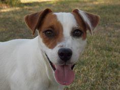 Jackrussel Terrier Robin🐶