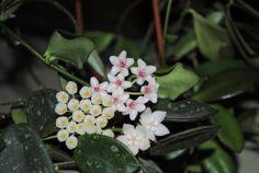 Hoya lacunosa cv 403, Hoya eitapensis, Hoya thomsonii