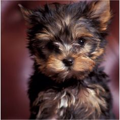 i want a yorkie terrier SO bad!<3