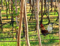 Gallo en el parral