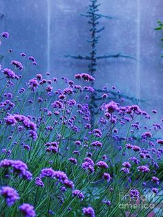 Lavender Flowers Painting by Eric Schiabor - Lavender Flowers Fine Art Prints and Posters for Sale