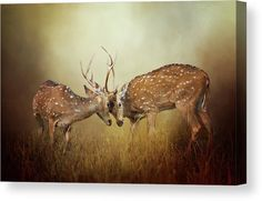 White-tailed Deer Canvas for sale. Impressive photo art of two bucks in a sparring match during the rut. Warm orange and brown color tones. Perfect for your Home, Office Or Hotel Room Walls. Available in various sizes. Click through to see the options! #canvasprints #deercanvas #canvasforsale Male Deer, Diana, Deer Photos, Deer Family, Cow Art, Wildlife Art, Stretched Canvas Prints, Fine Art America, Photo Art