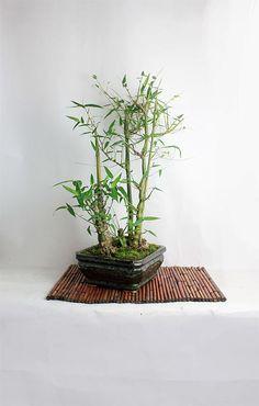 "Buddha Belly Bamboo Bonsai Forest ""Fall Bamboo Collection"" by  LiveBonsaiTree by LiveBonsaiTree on Etsy"