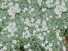 Cerastium tomentosum – Serastiyum