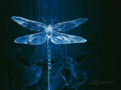 A Model of a Dragonfly in a Wind Tunnel Shows the Pattern of Air Passing over the Insect Photographic Print by Paul Chesley - AllPosters.co.uk