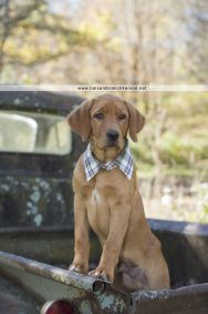 Teddy | Teeka & Duke | Balsam Branch Kennel | Puppy | Photoshoot | Now & Then Photography | Fox Red Labrador | Old Truck | teddy-fox-red-lab-puppy-4-months-old-balsam-branch-kennel-3-copy