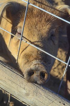 Check out this easy step-by-step on how to butcher pigs at home on the farm. Homestead Farm, Homestead Survival, Survival Prepping, Survival Skills, Emergency Preparedness, Future Farms, This Little Piggy, Hunting Blinds, Down On The Farm