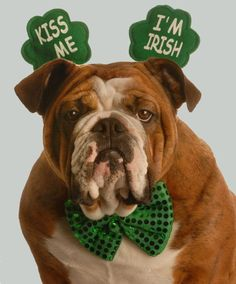 No problem there!!! :) #dogs #bulldogs #cute #animals #St_Patricks_Day
