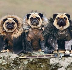 Pug Starks. Game of thrones