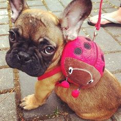 frenchie with ladybird bag