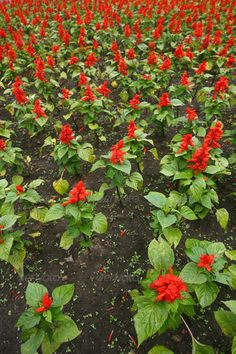red Flower Field Fresh Bright Sunny Day ...  agriculture, antirrhinum, background, beautiful, beauty, bloom, blooming, blossom, botany, bright, close, closeup, color, colorful, field, flora, floral, flower, fragrance, fresh, garden, grass, green, grow, herb, leaf, meadow, mouth, natural, nature, orange, outdoor, perennial, petal, pink, plant, plantaginaceae, pollen, purple, red, season, snap, snapdragon, spring, summer, vibrant, white, wild, yellow