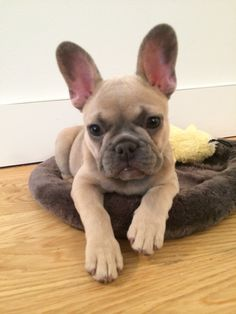 Blue fawn frenchie