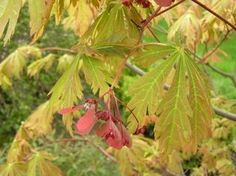 A Fernleaf Full Moon maple offers a rainbow of colors in autumn and small red flowers in spring.