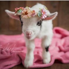 No coat on this goat, but she sure is cute!