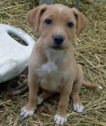 Alva is an adoptable Yellow Labrador Retriever Dog in Trevorton, PA. Alva is a mix breed puppy that was born into rescue by a pregnant stray. She is around 10 pounds and was born on April 16th. She is...