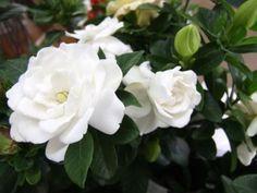 'Crown Jewel' Gardenia : Gardenia augusta 'Crown Jewel'