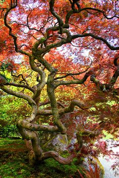 japanese maple, seattle japanese garden, washington