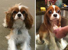 Nejvtipnější galerie psů před a po koupeli. Tomu se prostě nejde nesmát…