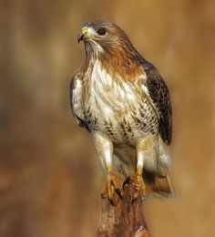 Red tailed hawk  by Phiddy1 way, way behind on Flickr.