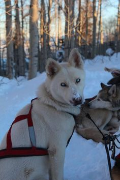 Mushing Cute Dog Photos, Dog Pictures, Animal Pictures, Pet Dogs, Dogs And Puppies, Dog Cat, Doggies, Animals And Pets, Baby Animals