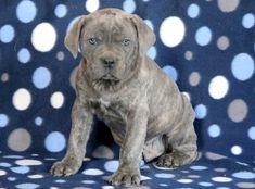 Listing Puppy for Sale Mount Joy, Cane Corso Puppies, Puppies For Sale, Labrador Retriever, Pitbulls, Dogs, Pennsylvania, Animals, German