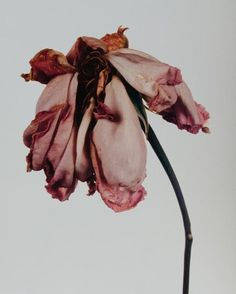 the beauty of a wilted flower
